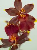 Orquídea vermelha de Oncidium foto de stock royalty free