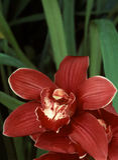 Orquídea vermelha do Cymbidium Fotografia de Stock Royalty Free