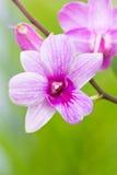 Orquídea violeta. foto de archivo