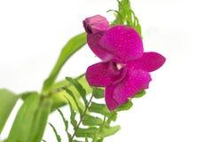 Orquídea violeta Fotos de Stock