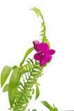 Orquídea violeta Foto de Stock