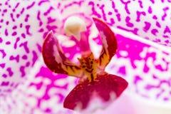 Orquídea violeta Fotografia de Stock