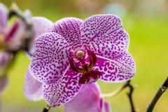 Orquídea violeta Imagens de Stock Royalty Free