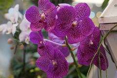 Orquídea violeta bonita Fotos de Stock Royalty Free