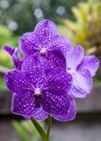Orquídea violeta hermosa Fotografía de archivo libre de regalías