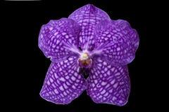 Orquídea violeta hermosa Fotografía de archivo