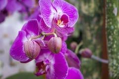 Orquídea violeta hermosa en el jardín fotos de archivo
