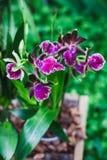 Orquídea Zygopetalum Imágenes de archivo libres de regalías