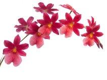 Orquídeas Fotos de archivo libres de regalías