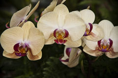 Orquídeas Foto de Stock Royalty Free