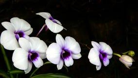 Orquídeas Imagem de Stock