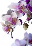 ORQUÍDEAS Imagen de archivo libre de regalías