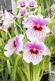 Orquídeas #2 Imagens de Stock Royalty Free