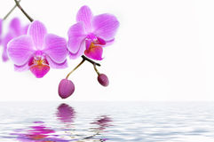 Orquídeas Fotos de Stock