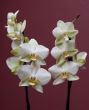 Orquídeas Fotografia de Stock Royalty Free