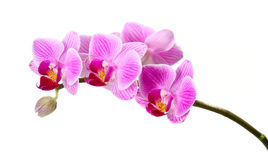 Orquídeas aisladas Foto de archivo
