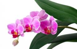 Orquídeas aisladas Fotografía de archivo