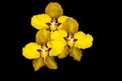 Orquídeas amarelas Fotografia de Stock Royalty Free