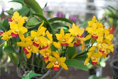Orquídeas amarelas fotos de stock royalty free