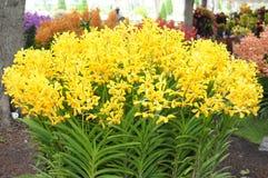 Orquídeas amarelas imagens de stock