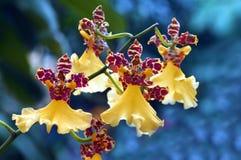 Orquídeas amarelas de dança fotografia de stock royalty free