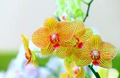 Orquídeas amarelas douradas bonitas do phalaenopsis foto de stock royalty free