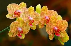 Orquídeas amarelas douradas bonitas do phalaenopsis fotos de stock royalty free