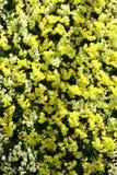 Orquídeas amarelas e brancas Foto de Stock Royalty Free