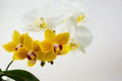 Orquídeas amarelas e brancas do phalaenopsis no fundo branco Fotos de Stock Royalty Free