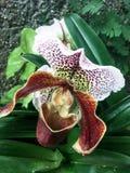 Orquídeas amarelas e vermelhas na flor Imagens de Stock