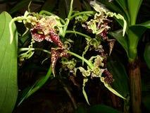 Orquídeas amarelas e vermelhas na flor Foto de Stock Royalty Free
