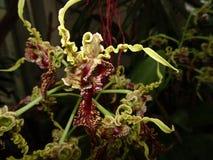 Orquídeas amarelas e vermelhas na flor Fotografia de Stock