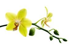 Orquídeas amarelas frescas Fotos de Stock Royalty Free