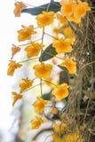 Orquídeas amarelas, lindleyi Steud do Dendrobium Fotos de Stock Royalty Free