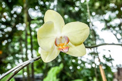Orquídeas amarelas no jardim Fotografia de Stock Royalty Free