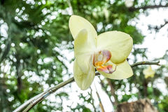 Orquídeas amarelas no jardim Foto de Stock