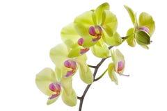 Orquídeas amarelas vívidas BB103649 Fotografia de Stock