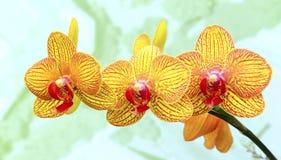 Orquídeas amarelas vibrantes fotografia de stock