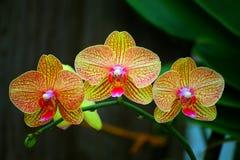 Orquídeas amarillas de oro hermosas del phalaenopsis imagen de archivo