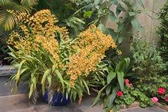 Orquídeas amarillas en un envase Fotos de archivo libres de regalías