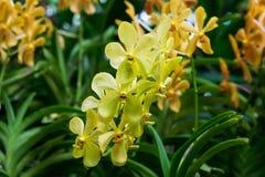 Orquídeas amarillas estupendas de Mokara en punto Imagen de archivo libre de regalías