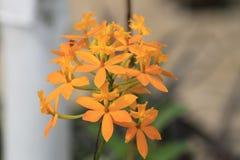Orquídeas amarillas y anaranjadas hermosas en naturaleza Fotos de archivo