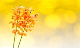 Orquídeas anaranjadas de Vanda del flor Imagen de archivo libre de regalías