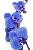 Orquídeas azuis Imagem de Stock Royalty Free