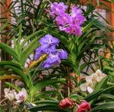 Orquídeas azuis, roxas, brancas de Vanda na estufa arranjo de flor Fotografia de Stock Royalty Free