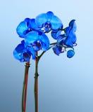 Orquídeas azules Imagenes de archivo