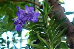 Orquídeas azules Fotos de archivo libres de regalías