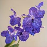 Orquídeas azules Imágenes de archivo libres de regalías