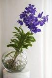 Orquídeas azules en bol de vidrio Foto de archivo libre de regalías