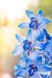 Orquídeas azules hermosas Imágenes de archivo libres de regalías